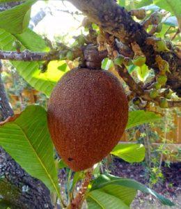 De vrucht van de mamey sapota - foto Daniel Di Palma - natuurlijke kleurstoffen voor wol - Handwerkwereld