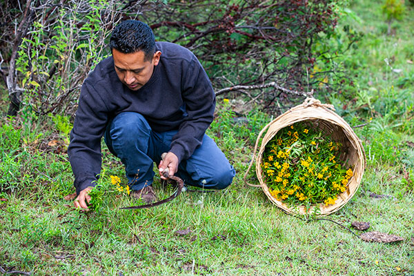 Porfino oogst pericón - natuurlijke kleurstoffen voor wol - Handwerkwereld