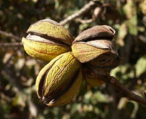 Rijpe pecannoten aan de boom - Handwerkwereld